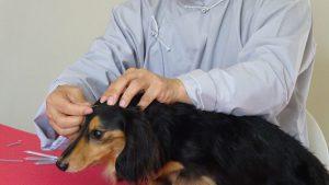 犬の鍼灸治療(01)